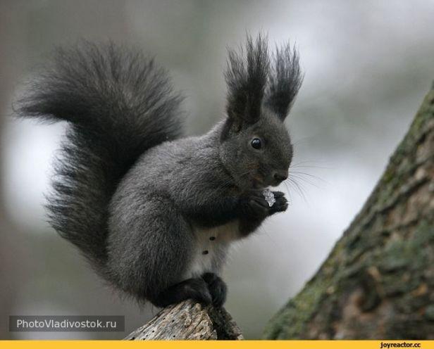 Brunette Squirrel